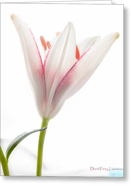 Greeting Card featuring the photograph Photograph Of A Pale Lily Opening I by David Perry Lawrence