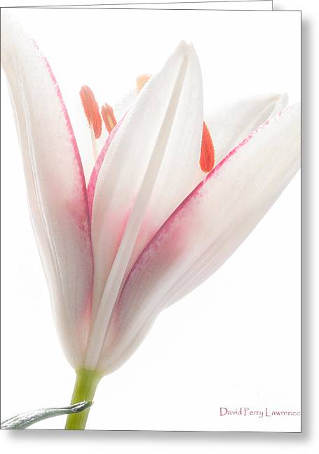 Photograph Of A Pale Lily Opening II Greeting Card