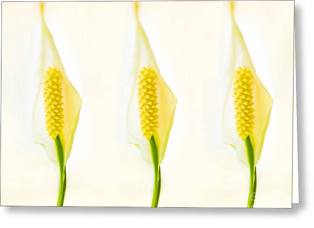 3 Tropical Ladies Called White Anthuriums Greeting Card by MaryJane Armstrong
