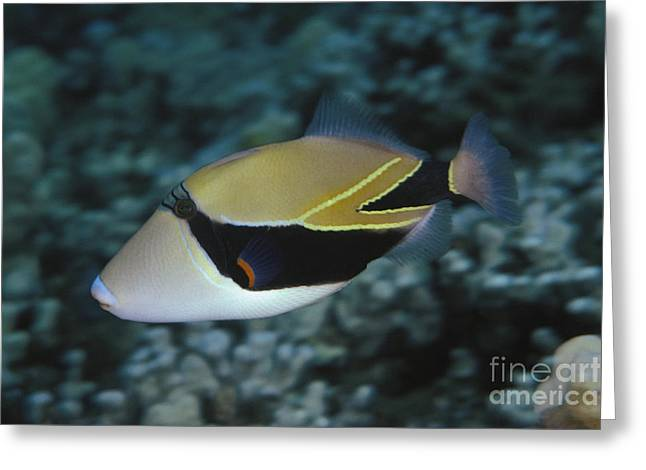 Picasso Triggerfish Greeting Card by Dave Fleetham - Printscapes