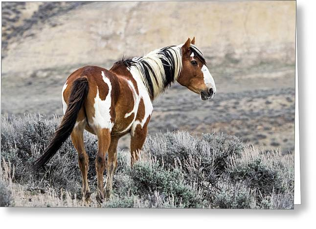 Picasso - Wild Mustang Stallion Of Sand Wash Basin Greeting Card