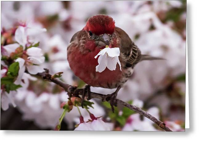 Picked For You House Finch Square Greeting Card by Terry DeLuco
