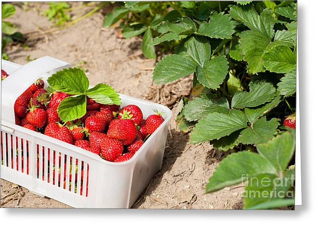 Picked Ripe Strawberries Bunch Greeting Card by Arletta Cwalina