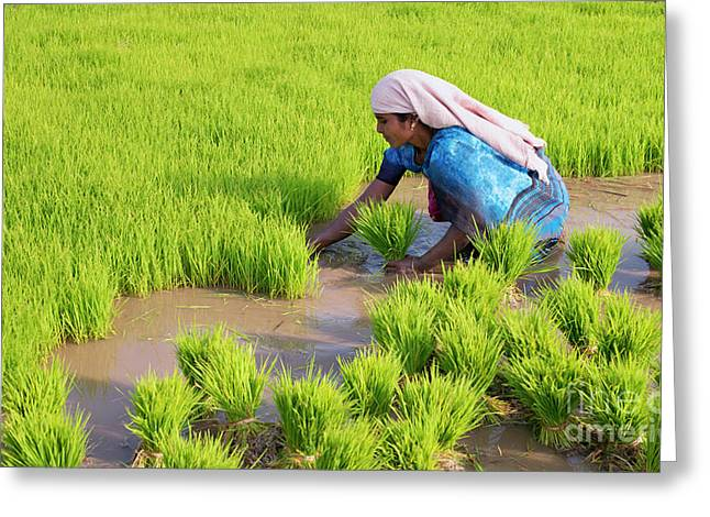 Picking Out Rice Plant Seedlings Greeting Card