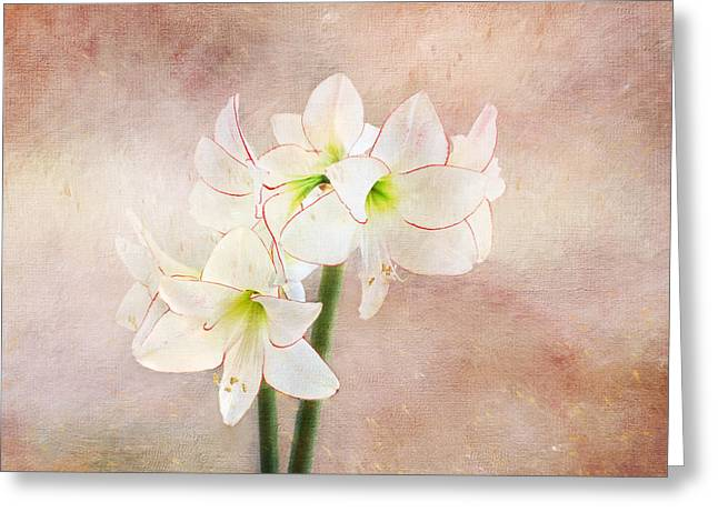 Picotee Amaryllis Greeting Card