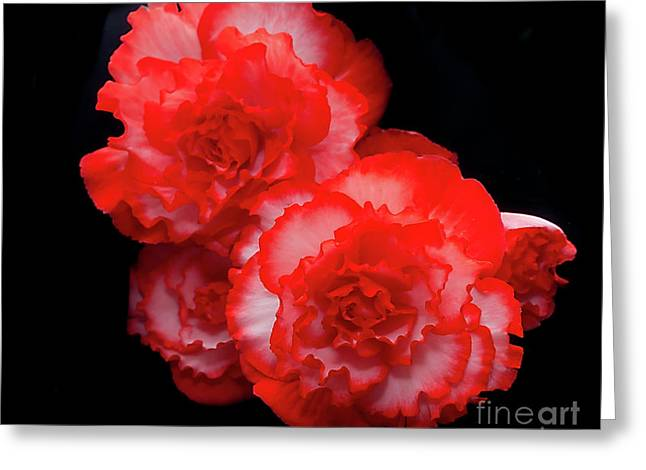 Picotee Begonia Greeting Card
