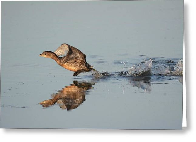 Pie-billed Grebe Greeting Card by John Adams