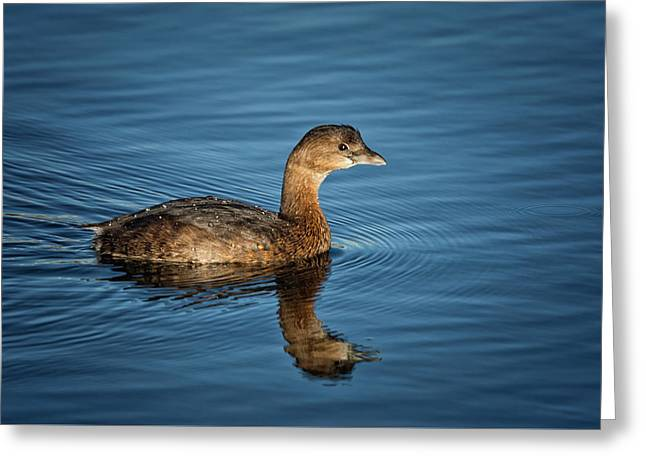 Greeting Card featuring the photograph Pied Billed Grebe by Randy Hall