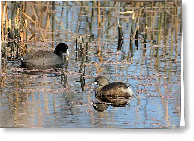 Pied-billed Grebe Reflections Greeting Card