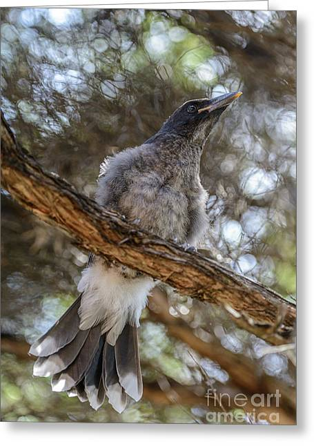 Pied Currawong Chick 1 Greeting Card