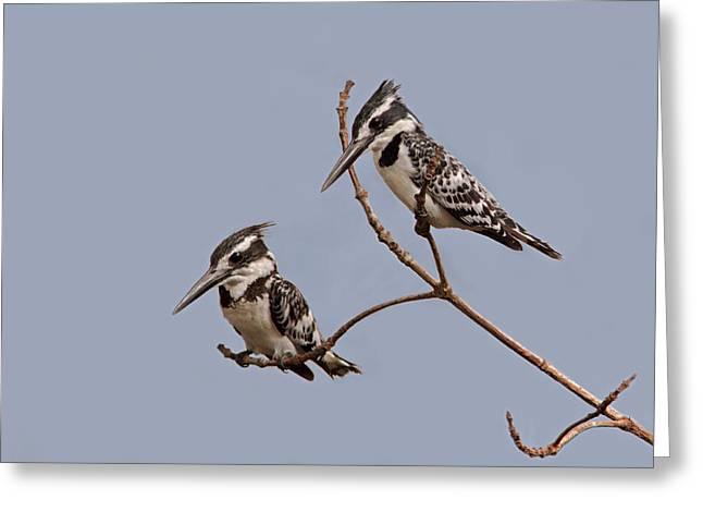Pied Kingfisher Pair Greeting Card