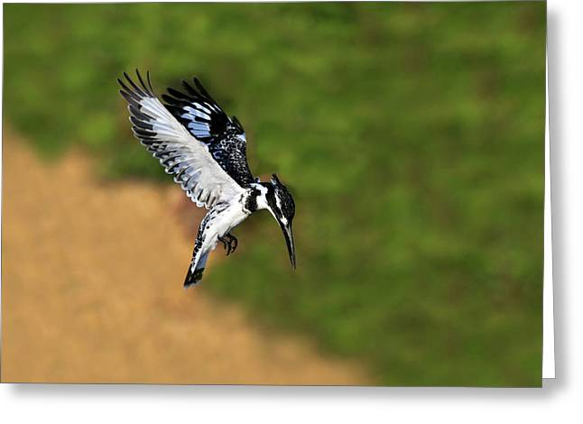 Hunting Bird Greeting Cards - Pied Kingfisher Greeting Card by Tony Beck