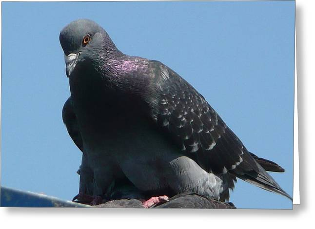 Pigeon On A Roof Greeting Card by Lori Seaman