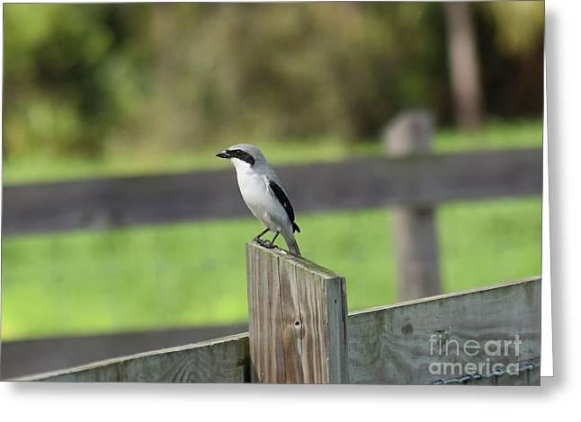 Pigeon-toed Shrike Greeting Card