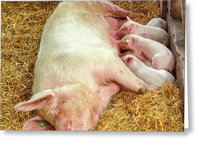 Greeting Card featuring the photograph Piglet Feeding Time by Tom Potter