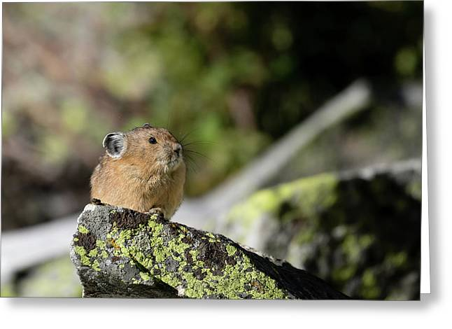 Greeting Card featuring the photograph Pika by Ronnie and Frances Howard
