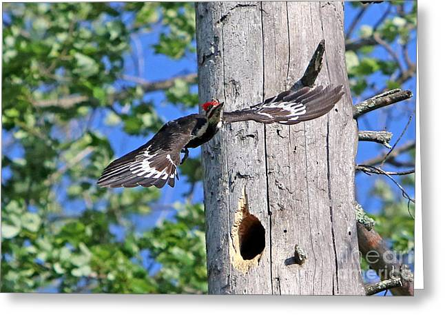 Pileated #27 Greeting Card by James F Towne