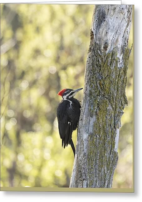 Pileated Woodpecker 2014-1 Greeting Card by Thomas Young