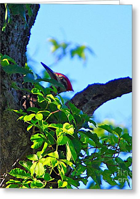Pileated Woody Wood Pecker Greeting Card by Robert Pearson