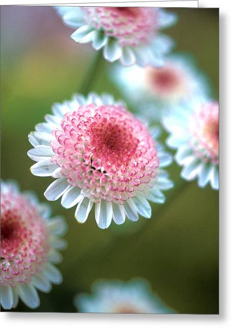 Floral Photos Greeting Cards - Pincushion Flowers Greeting Card by Kathy Yates