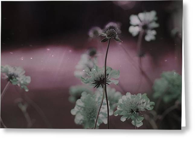 Pincushion Pink Invasion  Greeting Card by Gothicrow Images