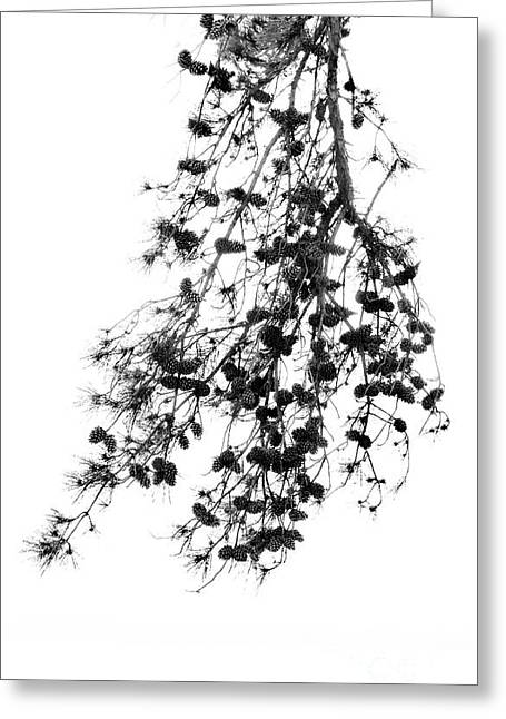 Pine Bough Greeting Card by Skip Willits