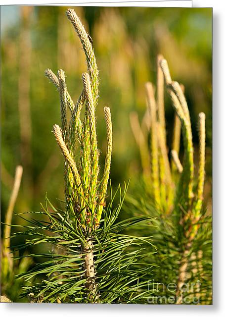 Pine Candles Tip Shoots Conifer Greeting Card