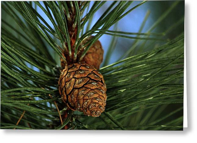 Pine Cone 2 Greeting Card by Marjorie Imbeau