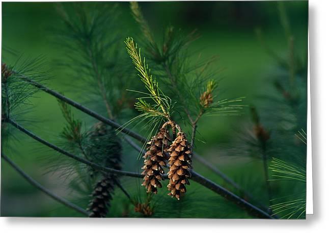 Pine Cones At Dusk Greeting Card