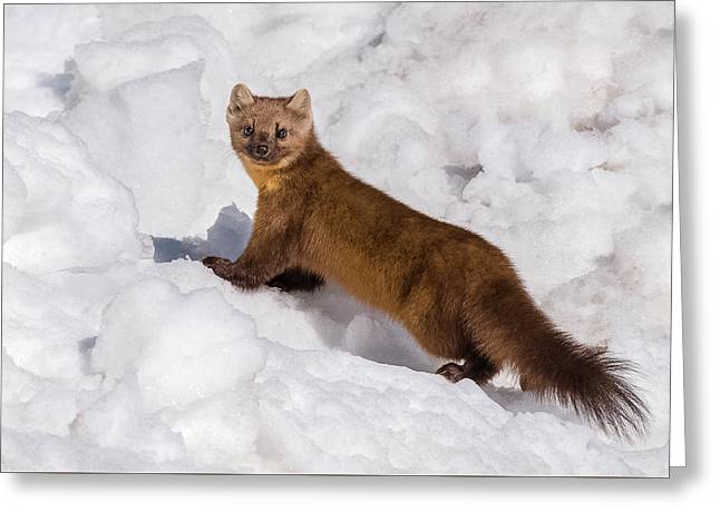 Pine Marten In Snow Greeting Card by Yeates Photography