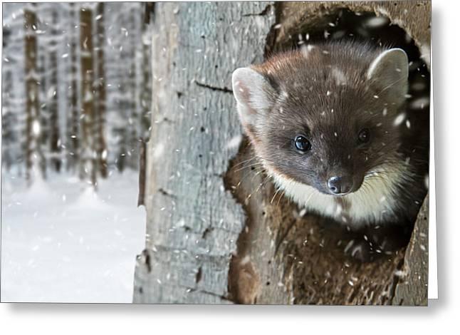 Pine Marten In Tree In Winter Greeting Card