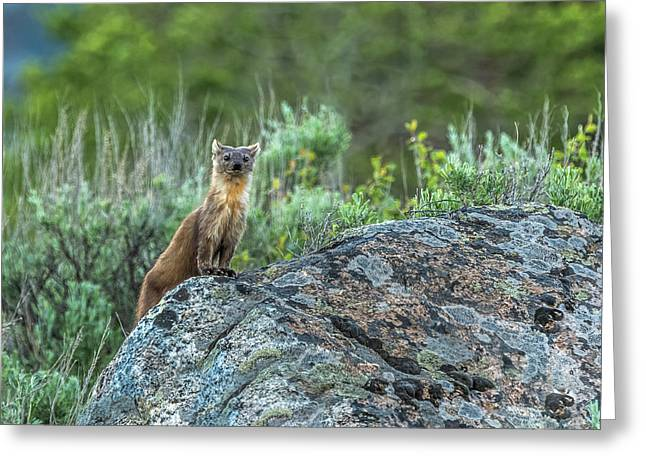 Greeting Card featuring the photograph Pine Marten With Attitude by Yeates Photography