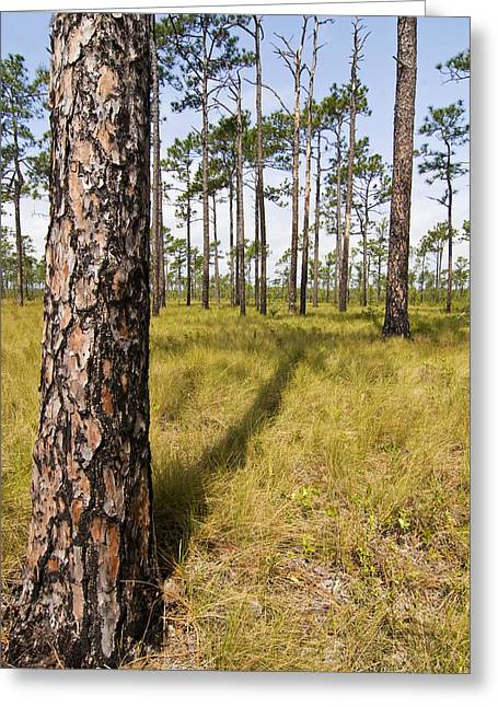Pine Savanna II Greeting Card