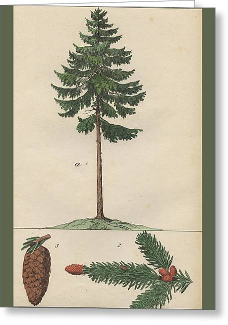 Pine Tree And Cone Greeting Card