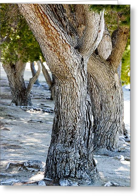 Greeting Card featuring the photograph Pine Tree by Ivete Basso Photography