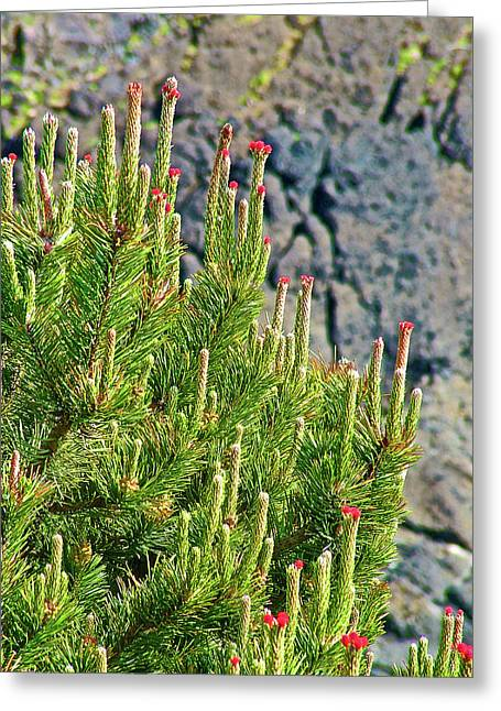 Pine Tree Tips In Yaquina Head Outstanding Natural Area In Newport, Oregon Greeting Card