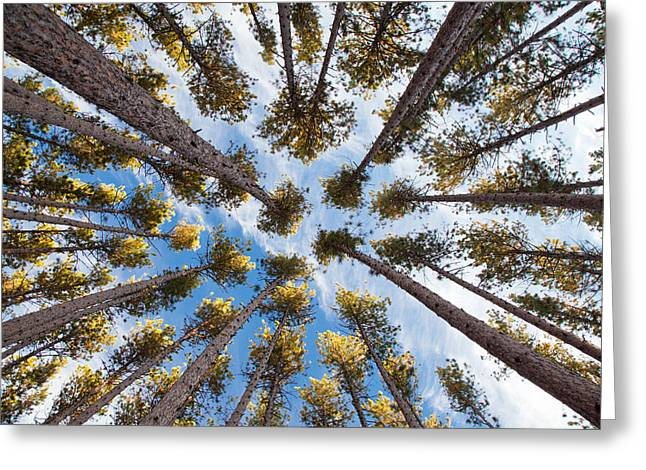 Pine Tree Vertigo Greeting Card by Adam Pender