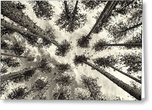 Pine Tree Vertigo - Square Sepia Greeting Card by Adam Pender