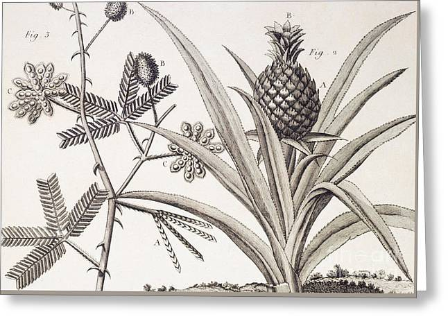 Pineapple Plant Greeting Card