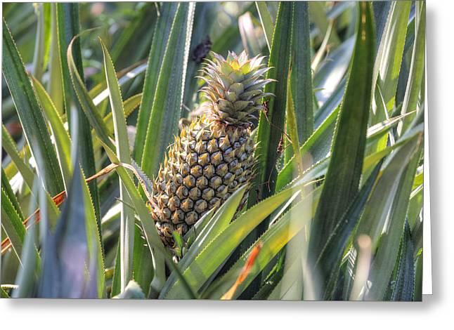 pineapple plantation in Kerala - India Greeting Card by Joana Kruse