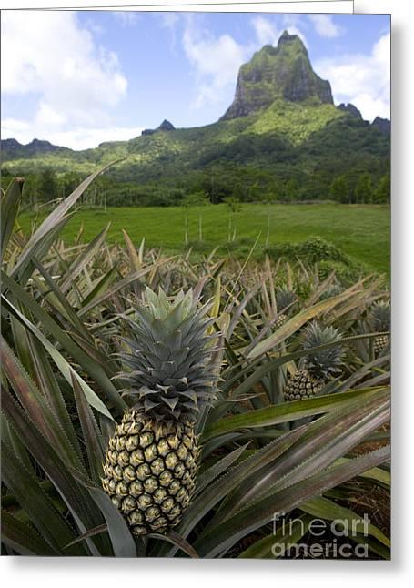 Pineapples In Moorea Greeting Card by Jean-Louis Klein & Marie-Luce Hubert