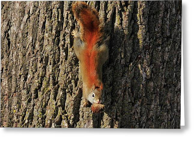 Piney Squirrel Greeting Card by David Arment
