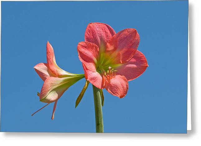 Pink Amaryllis Flowering In Spring Greeting Card by Allan  Hughes