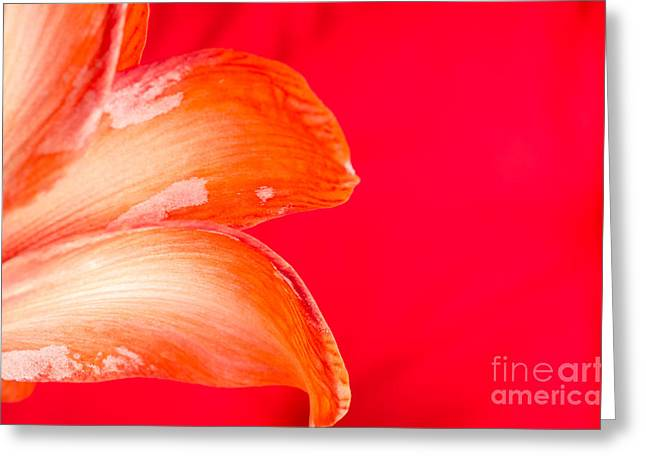 Pink Amaryllis Orange Amaryllis In A Pink Room Greeting Card by Andy Smy