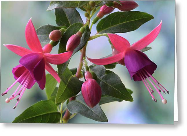 Greeting Card featuring the photograph Pink And Purple Fuchsia by Terence Davis