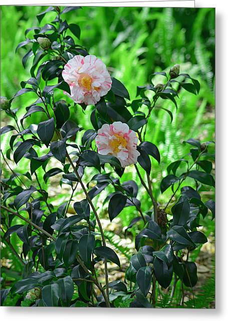 Pink And White Camellias Greeting Card