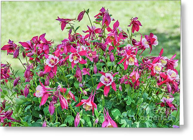 Greeting Card featuring the photograph Pink And White Columbine by Sue Smith