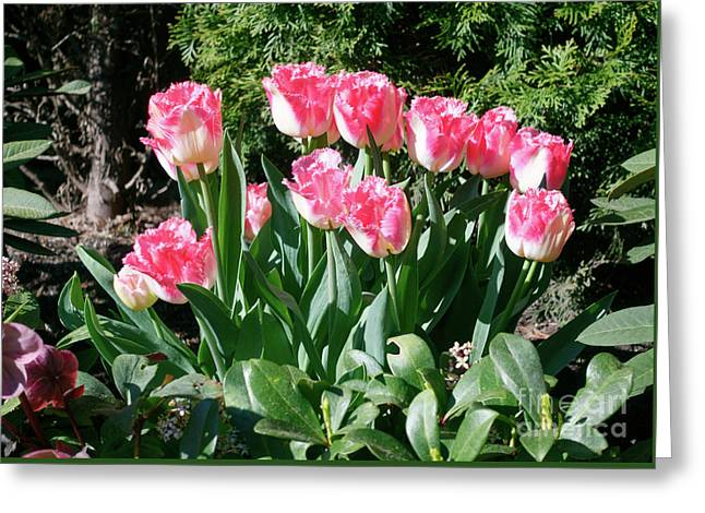 Pink And White Fringed Tulips Greeting Card by Louise Heusinkveld