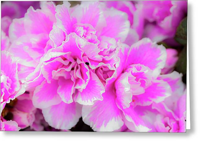 Pink And White Pastels Greeting Card