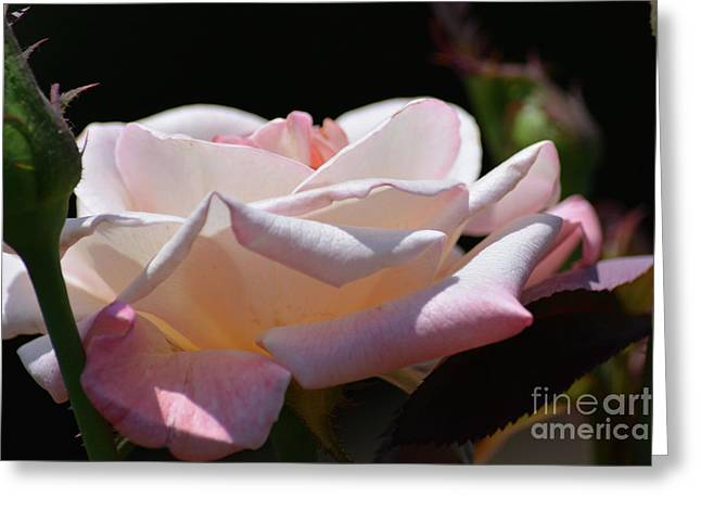 Pink And White Rose 2  Greeting Card by Ruth Housley